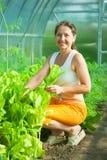 Lattuga di raccolto della donna Fotografia Stock Libera da Diritti