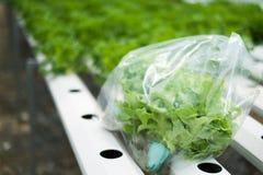 Lattuga di recente selezionata di hydropnics nel sacchetto di plastica con la piantagione Immagini Stock