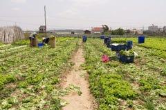 Lattuga di verde di Havesting in orto Immagini Stock Libere da Diritti