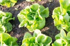 Lattuga di verdure, agricoltura del campo di coltura idroponica Immagine Stock