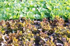 Lattuga di verdure, agricoltura del campo di coltura idroponica Fotografia Stock Libera da Diritti