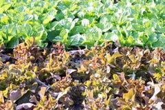 Lattuga di verdure, agricoltura del campo di coltura idroponica Fotografia Stock