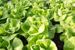 Lattuga di verdure, agricoltura del campo di coltura idroponica Immagini Stock Libere da Diritti