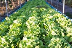 Lattuga di verdure, agricoltura del campo di coltura idroponica Immagini Stock