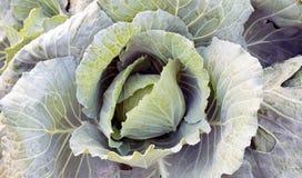 Lattuga di verdure, agricoltura del campo di coltura idroponica Fotografie Stock Libere da Diritti