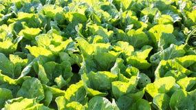 Lattuga di verdure, agricoltura del campo di coltura idroponica Fotografie Stock