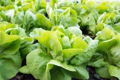 Lattuga di verdure, agricoltura del campo di coltura idroponica Immagine Stock Libera da Diritti