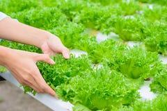 Lattuga di verdure idroponica del iceburg del fillie dell'azienda agricola Fotografia Stock
