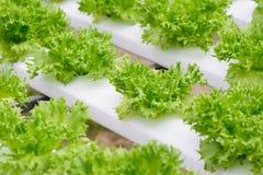 Lattuga di verdure idroponica del iceburg del fillie dell'azienda agricola Immagini Stock