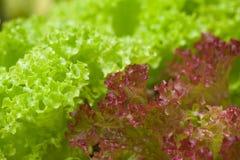 Lattuga fresca (crispa sativa di varietà del Lactuca) Fotografia Stock