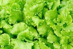 Lattuga fresca dell'insalata Fotografie Stock Libere da Diritti