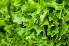 Lattuga fresca dell'insalata Fotografia Stock Libera da Diritti