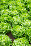 Lattuga fresca dell'insalata verde Fotografie Stock