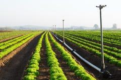 Lattuga fresca su un'azienda agricola con gli spruzzatori Fotografia Stock Libera da Diritti