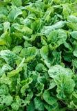 Lattuga fresca verde in giardino Immagine Stock Libera da Diritti