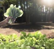 Lattuga fresca verde organica della tenuta della mano del ` s dell'agricoltore Immagine Stock