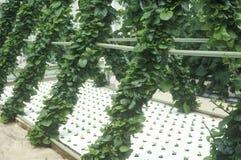 Lattuga idroponica che coltiva al centro di EPCOT, FL Immagine Stock Libera da Diritti