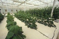 Lattuga idroponica che coltiva al centro di EPCOT, FL Fotografia Stock Libera da Diritti