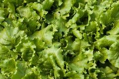 Lattuga (Lactuca sativa) Fotografia Stock Libera da Diritti