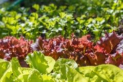 Lattuga (Lactuca sativa) immagini stock