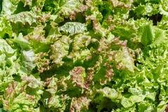 Lattuga (Lactuca sativa) fotografia stock