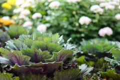 Lattuga, Lactuca sativa, una pianta annuale della famiglia della margherita, asteraceae agricoltura Piantagione verde e viola san fotografie stock