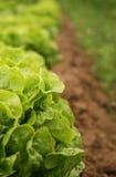 Lattuga organica che cresce in una riga Fotografia Stock Libera da Diritti