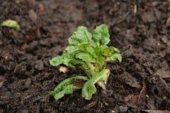 Lattuga organica fresca che germoglia dalla terra Immagini Stock
