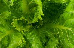 Lattuga verde Fotografia Stock