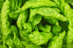 Lattuga verde Fotografie Stock