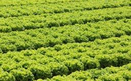 Lattuga verde coltivata su suolo sabbioso di estate Fotografia Stock