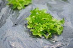 Lattuga verde dell'insalata della quercia Immagini Stock