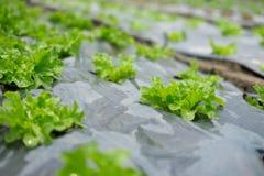 Lattuga verde dell'insalata della quercia Immagini Stock Libere da Diritti