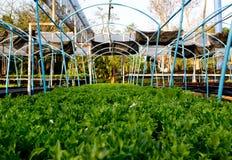 Lattuga verde della quercia Fotografia Stock