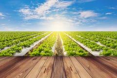 Lattuga verde e pavimento di legno su agricoltura del campo con cielo blu Immagini Stock Libere da Diritti