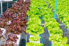 Lattuga verde e rossa delle verdure, dell'insalata, crescente da idroponico Fotografie Stock