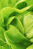 Lattuga verde fresca Immagine Stock Libera da Diritti