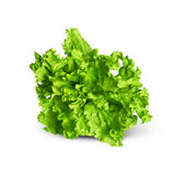 Lattuga verde fresca Fotografia Stock