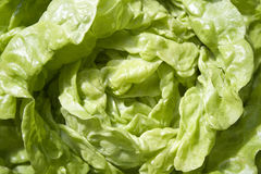 Lattuga verde fresca Immagini Stock