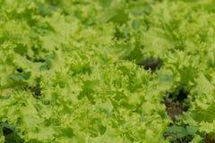 Lattuga verde fresca in azienda agricola Fotografia Stock Libera da Diritti