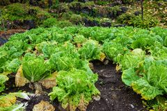 Lattuga verde giapponese nell'azienda agricola Immagini Stock Libere da Diritti