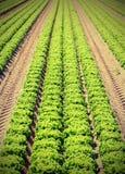 Lattuga verde nel campo coltivato di estate con il EFF dell'annata Fotografia Stock