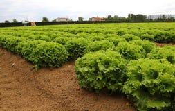Lattuga verde nel campo di estate Immagine Stock Libera da Diritti