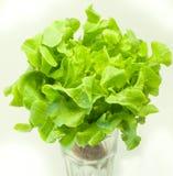 Lattuga verde su un fondo bianco Fotografie Stock Libere da Diritti