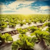 Lattuga verde sul agricuture e sul cielo blu del campo Fotografia Stock