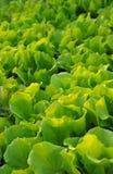 lattughe Fotografia Stock Libera da Diritti