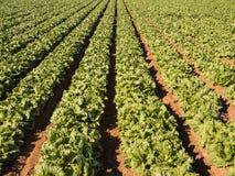 Lattughe che crescono - agricoltura moderna intensiva Fotografia Stock