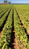 Lattughe che crescono - agricoltura moderna intensiva Fotografie Stock Libere da Diritti
