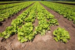 Lattughe coltivate Fotografia Stock Libera da Diritti