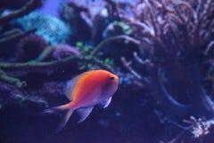 Latus Serranocirrhitus ψαριών anthias ηλιοφάνειας Στοκ Εικόνες